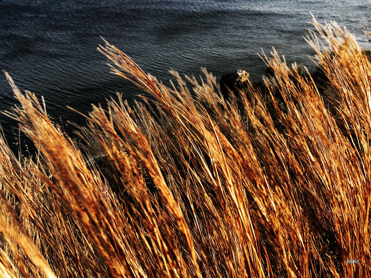 Halme im Wind